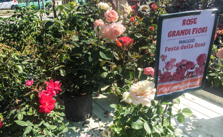 Maggio il mese delle rose scoprite tutte le oltre 100 for Grandi capanne di tronchi
