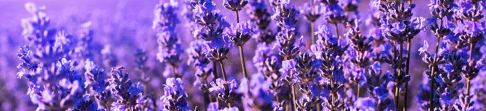 lavanda_pianta_aromatica_e_officinale