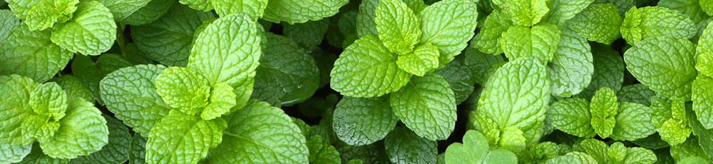 menta_piante_aromatiche_e_officinali