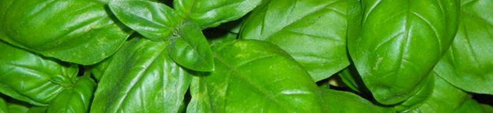 piante_aromatiche_mediterranee_basilico