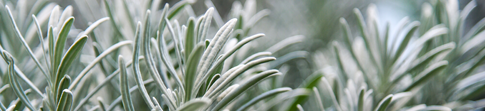 piante_aromatiche_rosmarino