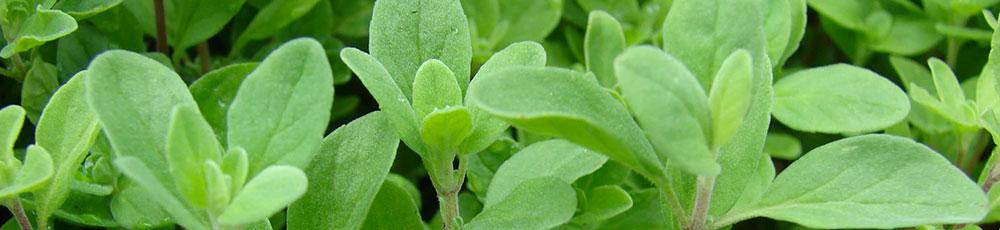 piante_erbe_maggiorana