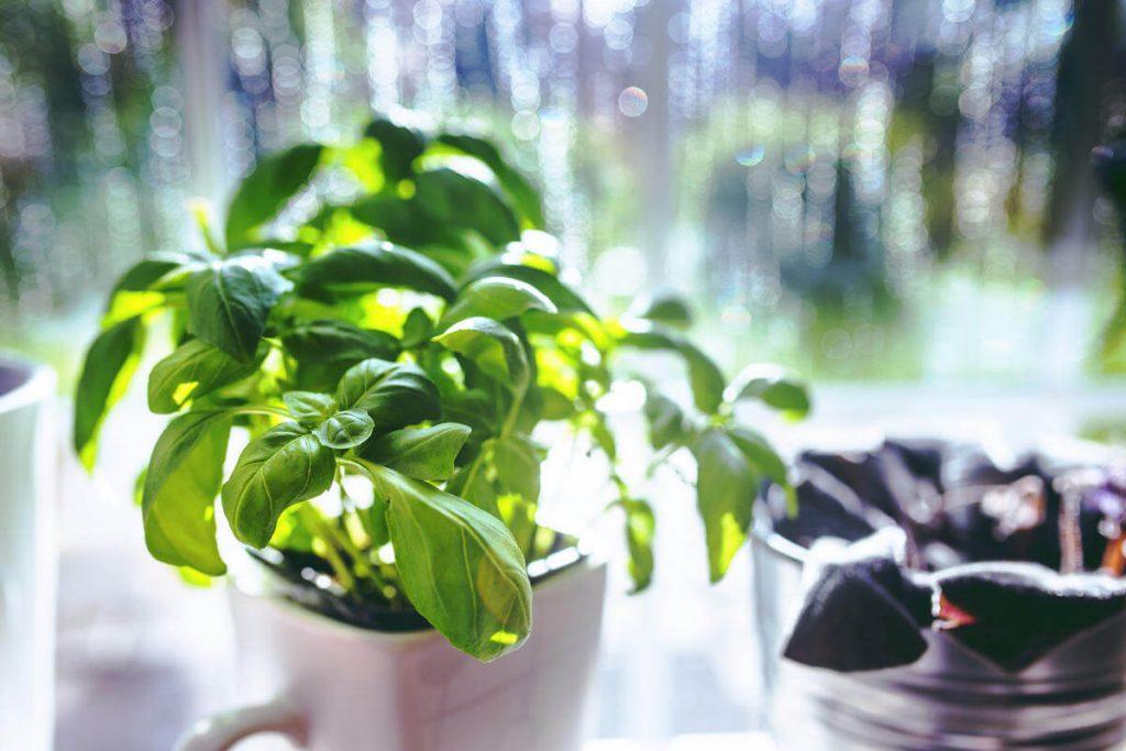 coltivare_le_erbe_aromatiche_alla_finestra