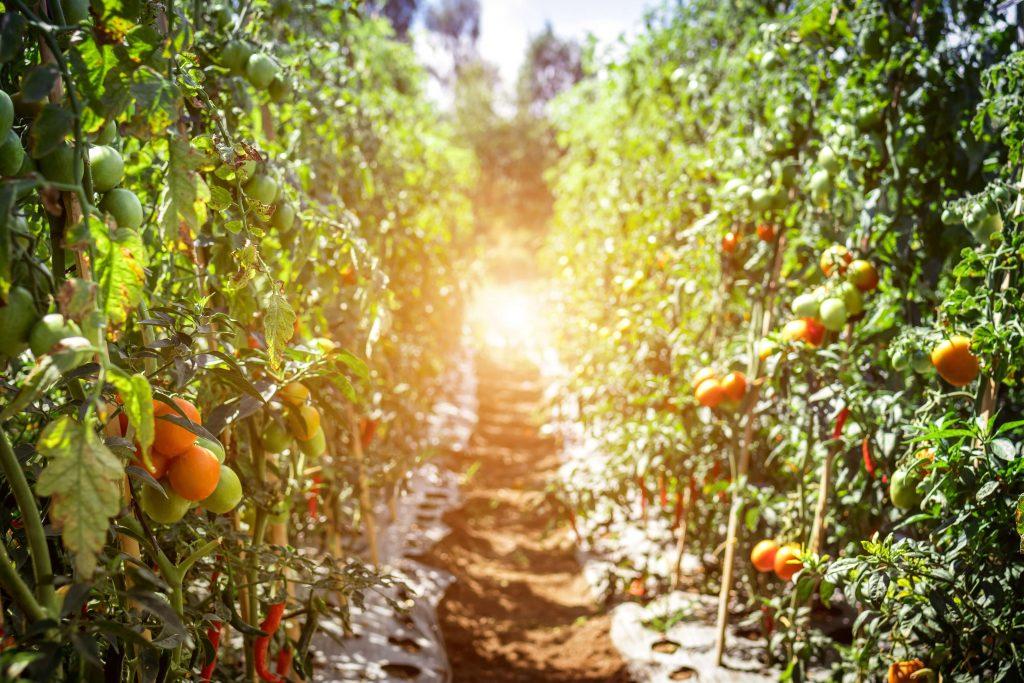 come coltivare pomodori il terreno giusto