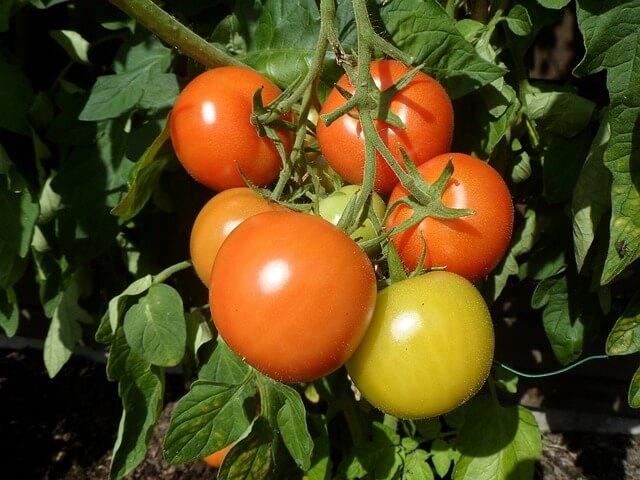 come coltivare pomodori a grappolo