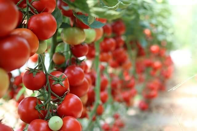 coltivare pomodori ciliegini
