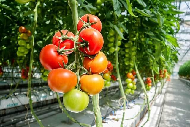 coltivare pomodori pachino