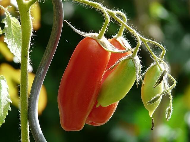 come coltivare pomodori san marzano