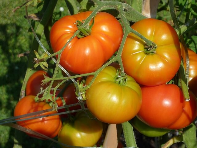 coltivare pomodori insalatari