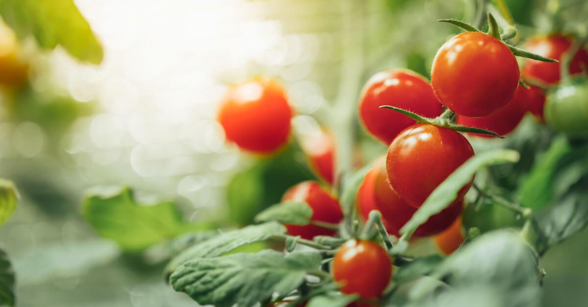 come_coltivare_i_pomodori_nell_orto