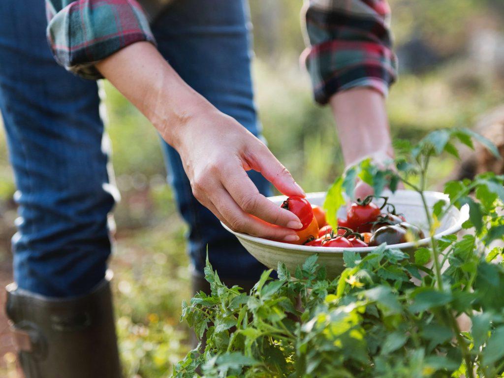 come si raccolgono i pomodori