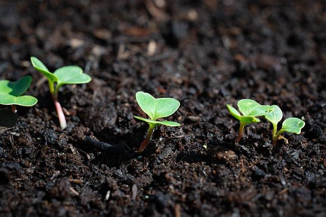 crescita dei pomodori