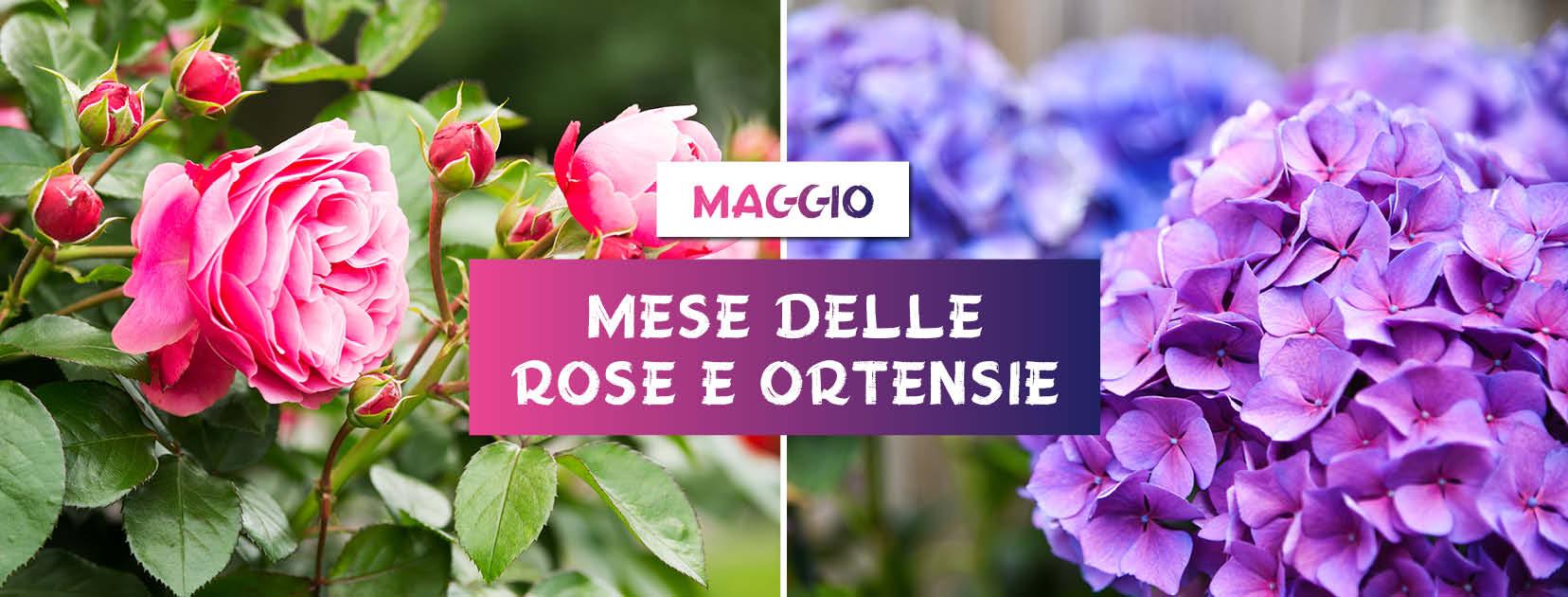 Maggio: Mese delle rose e delle ortensie