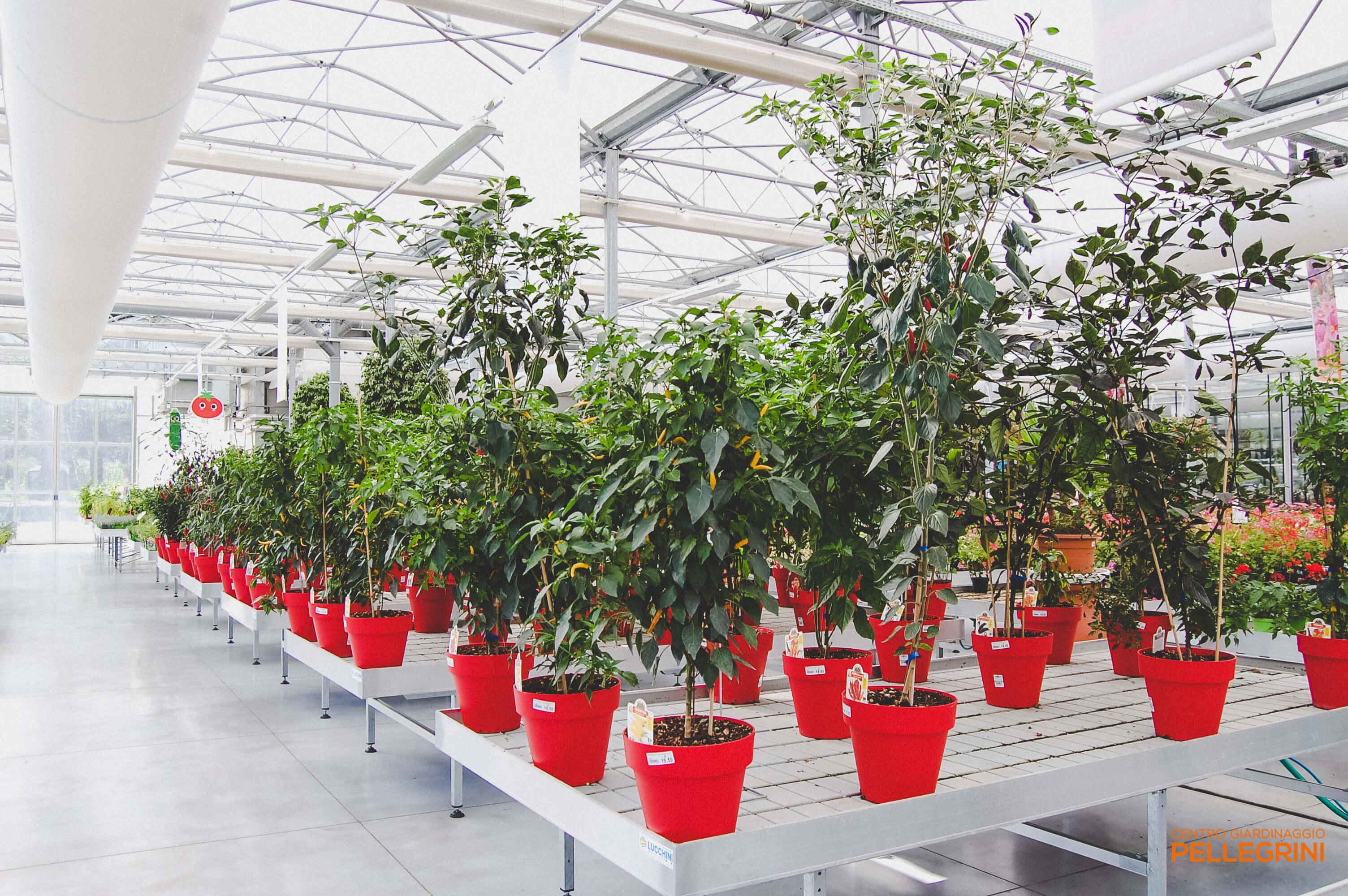 piante_di_peperoncino