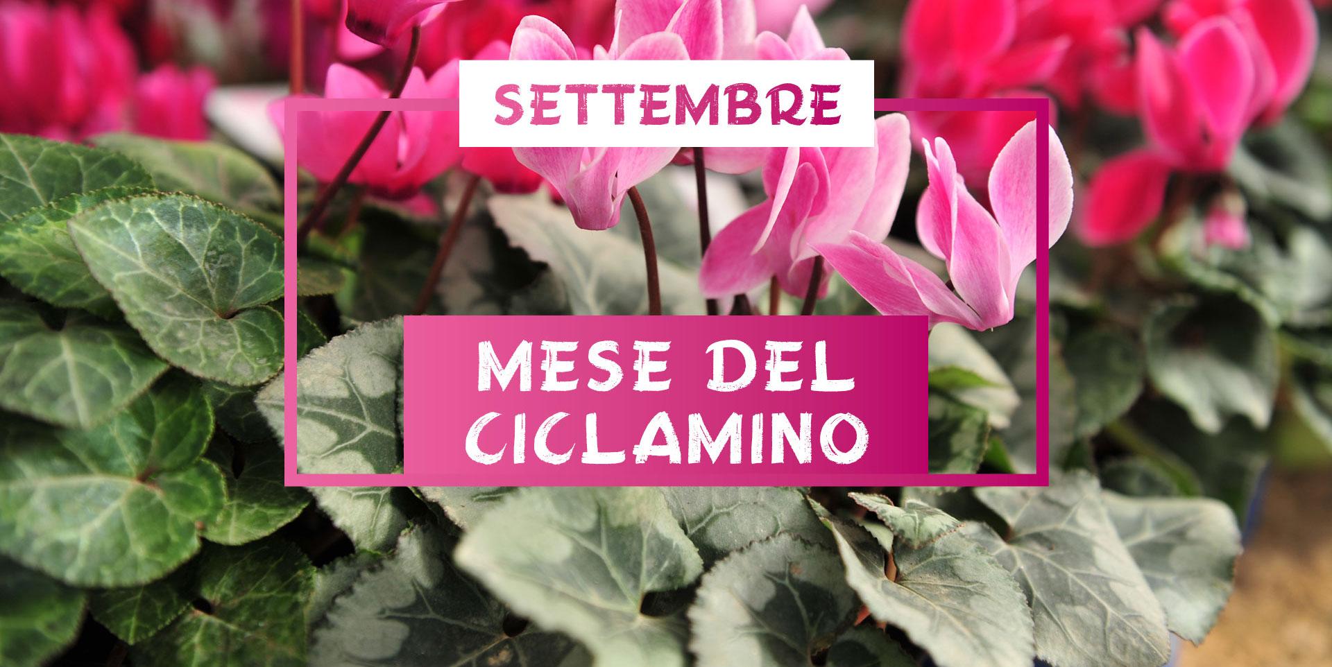 mese_del_ciclamino_centro_giardinaggio_pellegrini