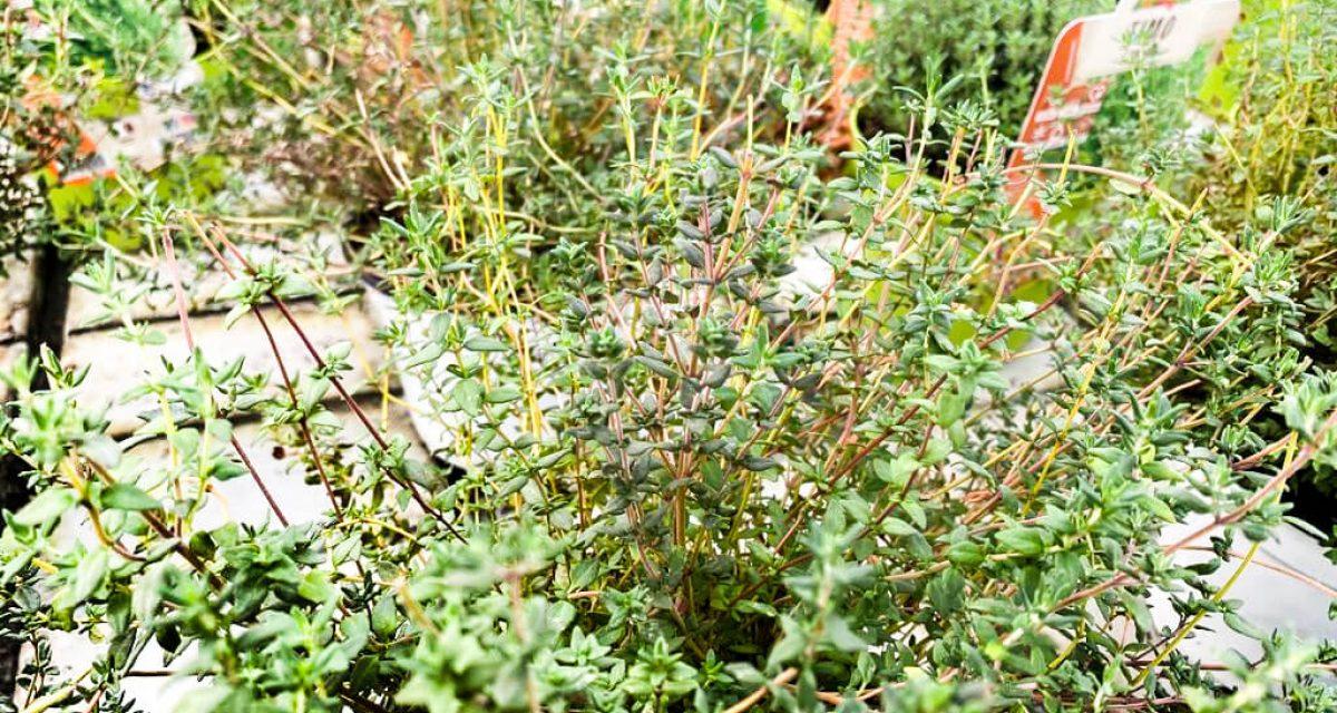 marzo-mese-orto-aromatiche-centro-giardinaggio-pellegrini12