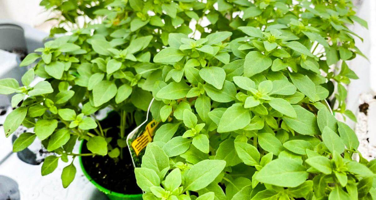 marzo-mese-orto-aromatiche-centro-giardinaggio-pellegrini7