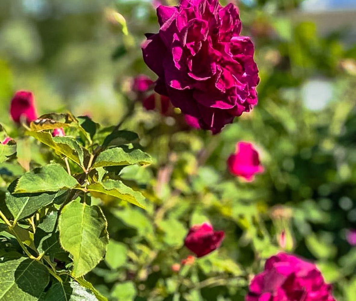 centro-giardinaggio-pellegrini-maggio-mese-rose-e-ortensie_1