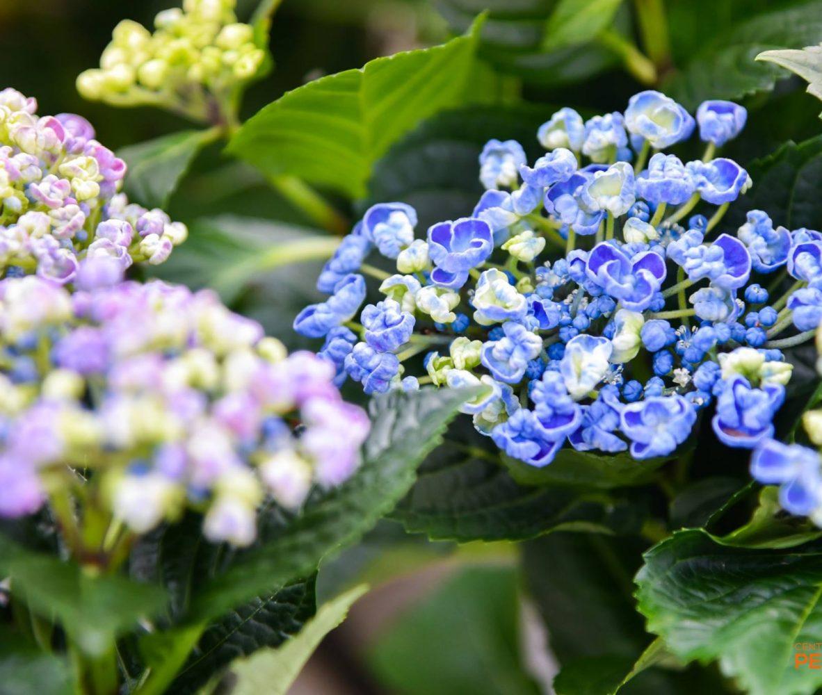 centro-giardinaggio-pellegrini-maggio-mese-rose-e-ortensie_2