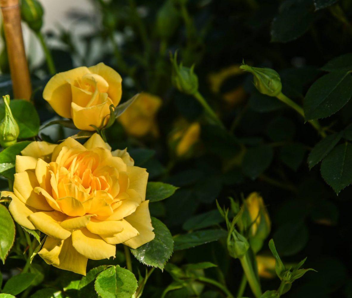 centro-giardinaggio-pellegrini-maggio-mese-rose-e-ortensie_3