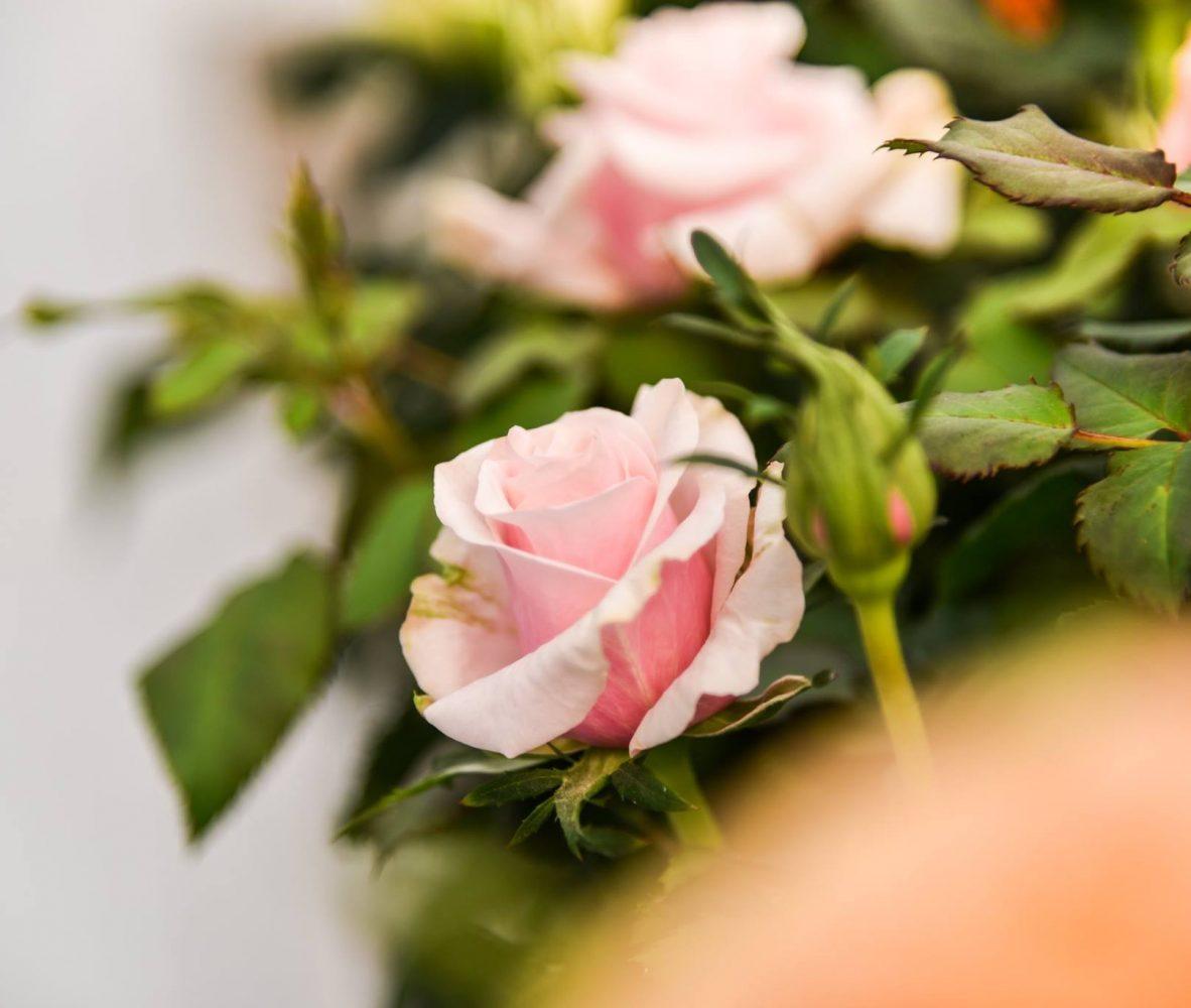 centro-giardinaggio-pellegrini-maggio-mese-rose-e-ortensie_4