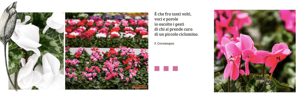 ciclamini-Centro-giardinaggio-pellegrini