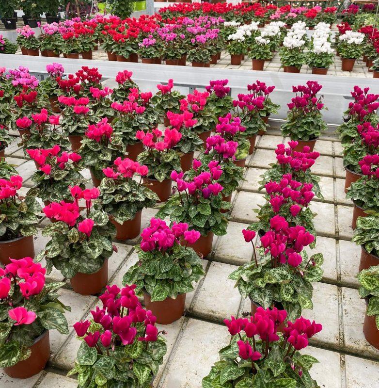 mese-del-ciclamino-Centro-giardinaggio-pellegrini